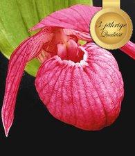 orchideen winterhart online kaufen bestellen bei baldur. Black Bedroom Furniture Sets. Home Design Ideas