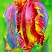 Blumenzwiebeln Herbstpflanzung